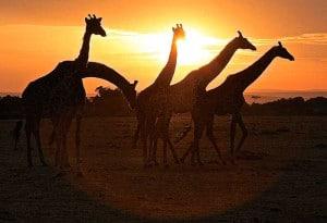 Giraffes at sunrise